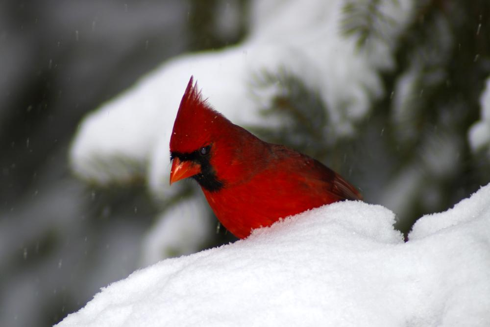 18943847_1494015555671_Peek a Boo - A Northern Cardinal watching from behind a snow drift
