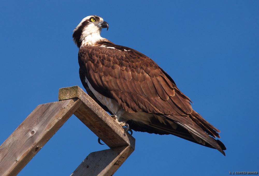 18943847_1494015689399_Osprey - One of the many Osprey living along the river.