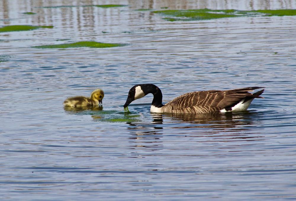 3307774_1495633983358_Teaching life's lessons - Mother goose with her newborn at the wetlands on K&P trail, just south of the 401